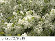 Купить «Цветущая яблоня», фото № 279818, снято 10 мая 2008 г. (c) Юля Тюмкая / Фотобанк Лори