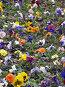 Анютины глазки, фото № 279894, снято 10 мая 2008 г. (c) Елена Беляева / Фотобанк Лори