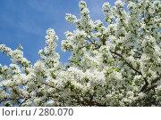 Купить «Яблоневый цвет», фото № 280070, снято 11 мая 2008 г. (c) Игорь Момот / Фотобанк Лори