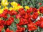 Красные тюльпаны, фото № 280450, снято 8 мая 2008 г. (c) Игорь Камаев / Фотобанк Лори