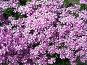 Газонные цветы. Флокс шиловидный, фото № 281190, снято 10 мая 2008 г. (c) Дудакова / Фотобанк Лори