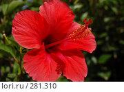 Купить «Гибискус. Hibiscus sabdariffa», фото № 281310, снято 29 июня 2007 г. (c) Брыков Дмитрий / Фотобанк Лори