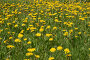 Текстура. Одуванчики, фото № 281954, снято 19 мая 2007 г. (c) Селигеев Андрей Иванович / Фотобанк Лори