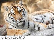 Купить «Тигр уссурийский», эксклюзивное фото № 286610, снято 26 апреля 2008 г. (c) Дмитрий Неумоин / Фотобанк Лори