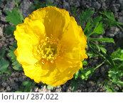 Купить «Мак голостебельный (исландский мак) желтый - Papaver nudicaule», фото № 287022, снято 22 июня 2006 г. (c) Беляева Наталья / Фотобанк Лори