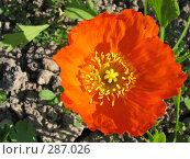 Купить «Мак голостебельный (исландский мак) оранжевый - Papaver nudicaule», фото № 287026, снято 22 июня 2006 г. (c) Беляева Наталья / Фотобанк Лори