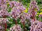 Фиолетовые цветы на клумбе. Бадан, фото № 287682, снято 9 мая 2008 г. (c) Лада Иванова / Фотобанк Лори
