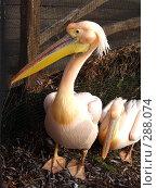 Купить «Розовый пеликан», фото № 288074, снято 20 января 2008 г. (c) Юлия Бобровских / Фотобанк Лори