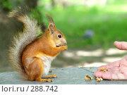 Купить «Белка ест орехи с руки человека», фото № 288742, снято 23 мая 2018 г. (c) Ирина Игумнова / Фотобанк Лори
