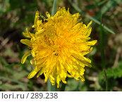 Купить «Цветок одуванчика лекарственного», фото № 289238, снято 15 мая 2008 г. (c) Ivan Markeev / Фотобанк Лори