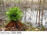 Купить «Папоротник на болоте», фото № 289906, снято 30 июня 2007 г. (c) Сергей Сынтин / Фотобанк Лори