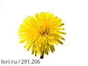 Купить «Одуванчик желтый», фото № 291206, снято 17 мая 2008 г. (c) Николай Коржов / Фотобанк Лори