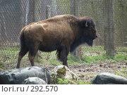 Купить «Приокско-террасный заповедник. Зубровый питомник. Американский бизон», фото № 292570, снято 13 апреля 2008 г. (c) Артем Ефимов / Фотобанк Лори