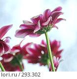 Купить «Красивые весенние цветы», фото № 293302, снято 1 мая 2008 г. (c) Вероника Галкина / Фотобанк Лори