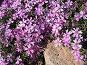 Цветение флокса шиловидного, фото № 293726, снято 17 мая 2008 г. (c) Заноза-Ру / Фотобанк Лори
