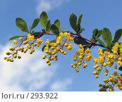 Купить «Цветы барбариса на фоне голубого неба», эксклюзивное фото № 293922, снято 18 мая 2008 г. (c) Тамара Заводскова / Фотобанк Лори