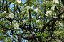 Яблоня в цвету, фото № 296042, снято 10 мая 2008 г. (c) Абдурагимова Наталия / Фотобанк Лори