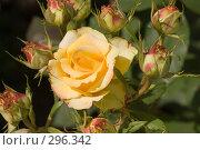 Купить «Роза и бутоны», фото № 296342, снято 23 мая 2008 г. (c) Игорь Р / Фотобанк Лори