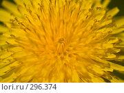 Купить «Макроснимок цветущего одуванчика», фото № 296374, снято 20 мая 2008 г. (c) Harry / Фотобанк Лори