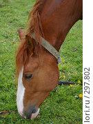 Купить «Рыжий конь ест траву», фото № 297802, снято 18 мая 2008 г. (c) Oksana Mahrova / Фотобанк Лори