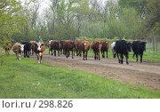 Купить «Вечер. Возвращение стада домой», фото № 298826, снято 2 мая 2008 г. (c) Артем Ефимов / Фотобанк Лори