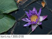 Лотос(кувшинка) на воде. Стоковое фото, фотограф Gagara / Фотобанк Лори