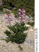 Купить «Цветущее растение Неопалимая Купина», фото № 300978, снято 21 мая 2008 г. (c) Олег Титов / Фотобанк Лори