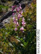 Купить «Цветущее растение Неопалимая Купина», фото № 300982, снято 21 мая 2008 г. (c) Олег Титов / Фотобанк Лори