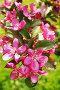 Яблоневый цвет, фото № 301910, снято 10 мая 2008 г. (c) Павлова Татьяна / Фотобанк Лори