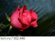 Бутон розы. Стоковое фото, фотограф Галина Б / Фотобанк Лори