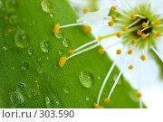 Купить «Цветок вишни на фоне зеленого листочка с росой», фото № 303590, снято 21 апреля 2008 г. (c) Александр Паррус / Фотобанк Лори