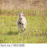 Купить «Козел, пасущийся на лугу», фото № 303606, снято 2 мая 2008 г. (c) Эдуард Межерицкий / Фотобанк Лори