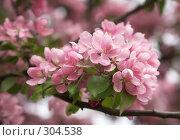 Купить «Нежность цветущей яблони», фото № 304538, снято 6 мая 2008 г. (c) Татьяна Макотра / Фотобанк Лори