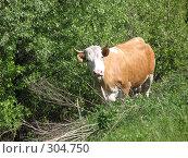 Купить «Корова показывает язык», фото № 304750, снято 9 мая 2008 г. (c) Лада Иванова / Фотобанк Лори