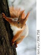 Купить «Любопытная белка на стволе дерева», фото № 304758, снято 28 марта 2005 г. (c) Максим Горпенюк / Фотобанк Лори