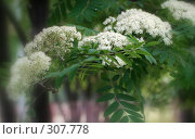 Купить «Цветы рябины», фото № 307778, снято 19 мая 2008 г. (c) Виктория Щепкина / Фотобанк Лори