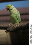 Купить «Большой кольчатый попугай (Psittacula eupatria)», фото № 308582, снято 17 мая 2008 г. (c) Владимир Воякин / Фотобанк Лори