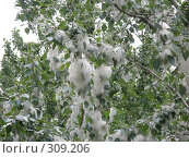 Купить «Тополиный пух, жара, июнь...», фото № 309206, снято 23 июня 2006 г. (c) Дмитрий Кобзев / Фотобанк Лори