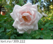 Купить «Розовая роза», фото № 309222, снято 24 сентября 2006 г. (c) Дмитрий Кобзев / Фотобанк Лори