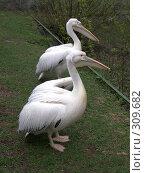 Купить «Два пеликана», фото № 309682, снято 16 апреля 2008 г. (c) Бяков Вячеслав / Фотобанк Лори