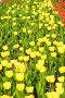 Тюльпаны, фото № 309746, снято 3 мая 2008 г. (c) Ирина Игумнова / Фотобанк Лори