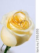 Купить «Обручальные кольца на кремовой розе», фото № 310010, снято 31 мая 2008 г. (c) Татьяна Белова / Фотобанк Лори