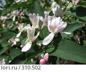 Купить «Цветки жимолости», фото № 310502, снято 31 мая 2008 г. (c) Заноза-Ру / Фотобанк Лори