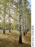 Купить «Березовая роща ранней осенью», фото № 310854, снято 19 сентября 2018 г. (c) Дмитрий Яковлев / Фотобанк Лори