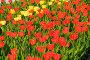 Тюльпаны, фото № 312294, снято 3 мая 2008 г. (c) Ирина Игумнова / Фотобанк Лори
