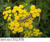 Купить «Желтая гусеница на желтых цветах пижмы», фото № 312978, снято 5 августа 2007 г. (c) Sergey Toronto / Фотобанк Лори