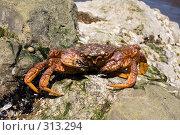 Купить «Краб камчатский - волосатик (Erimacrus isenbeckii )», фото № 313294, снято 6 июня 2008 г. (c) Ирина Игумнова / Фотобанк Лори