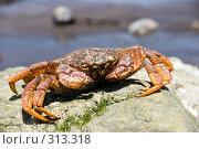 Купить «Краб камчатский - волосатик (Erimacrus isenbeckii )», фото № 313318, снято 6 июня 2008 г. (c) Ирина Игумнова / Фотобанк Лори