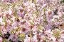 Обильно цветущая сакура, фото № 315958, снято 25 апреля 2008 г. (c) Юлия Кашкарова / Фотобанк Лори