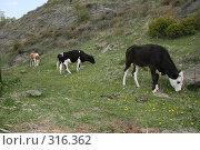 Купить «Коровы пасутся у горы», фото № 316362, снято 31 мая 2008 г. (c) Дарья Киселева / Фотобанк Лори